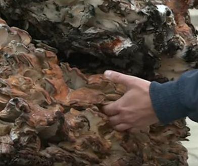 Wachlarzowiec olbrzymi pobił rekord Guinnessa