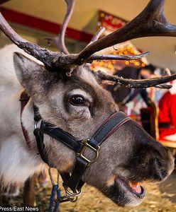 Renifer jako świąteczna atrakcja. Internauci i obrońcy praw zwierząt oburzeni