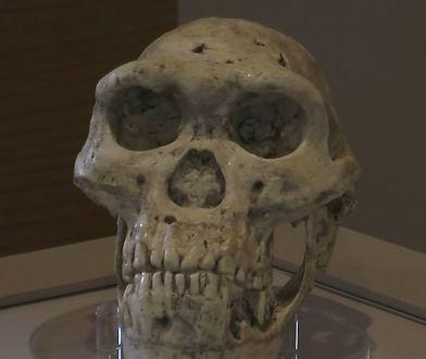 Czaszka Homo erectus znaleziona w Dmanisi.