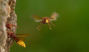 Szerszeń nie zagrozi człowiekowi, ale pszczołom już tak