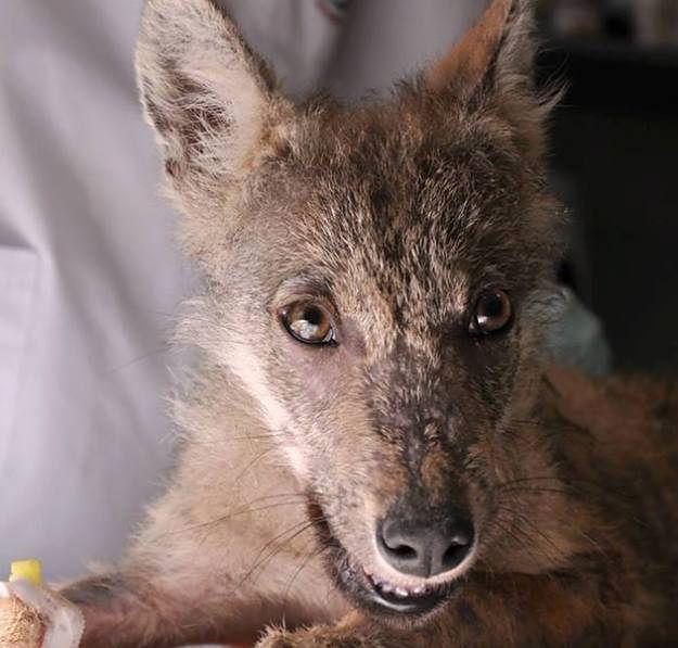 W poznańskim zoo powstanie wybieg dla wilków