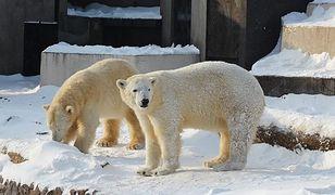 Urodziny misiów polarnych w warszawskim zoo!