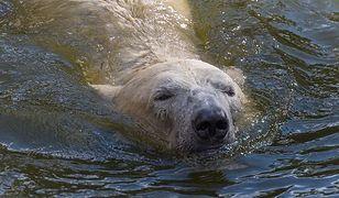 Niedźwiedź z warszawskiego zoo bez zęba. Przeszedł zabieg dentystyczny