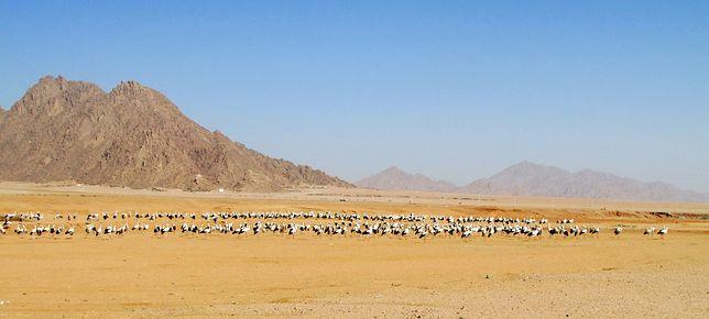 Bociany już opuszczają Afrykę. Internautka uchwyciła w kadrze spore stado