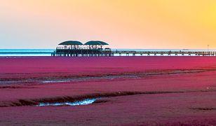 W Chinach znajduje się jedyna plaża na świecie, na której rosną czerwone wodorosty