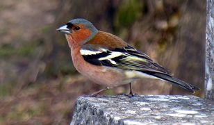 Naukowcy uczą ptaki śpiewania piosenek. Wszczepiają je w ich mózgi.