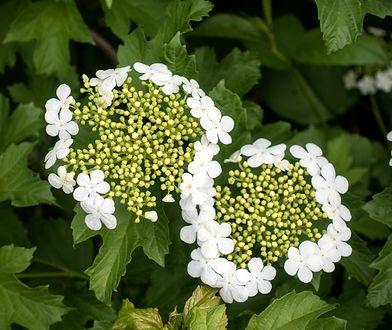 Kalina hordowina szybko się ukorzenia i pięknie zdobi ogród