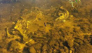 Szkielet odkryty w Wiśle w Grodzisku Wyszogród