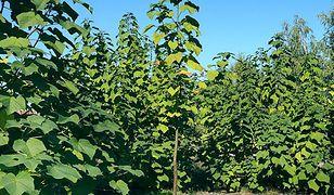 Drzewka tlenowe bardzo dobrze przyjęły się w naszym kraju