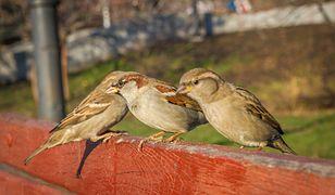 Popularne ptaki znikną z polskiego środowiska?