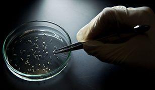 Larwy komara Aedes aegypti - to ten owad przenosi wirusa