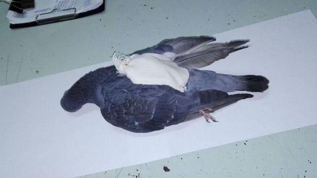 Gołąb przenoszący paczkę z narkotykami.
