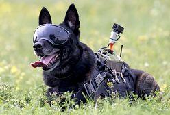 Rico łapie najgroźniejszych przestępców. Pierwszy pies antyterrorysta w Polsce