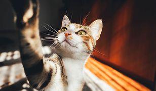 Koronawirus leczony preparatem dla kotów? Naukowcy: to mocny kandydat