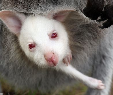 Kangur mały w torbie lęgowej