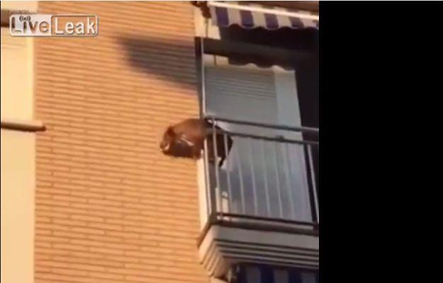 Zamknęli psa w upał bez wody na balkonie. Zdesperowane zwierzę wyskoczyło