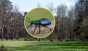Lasy Państwowe ostrzegają: na tego owada trzeba uważać!