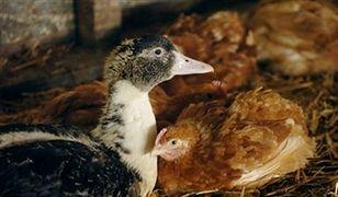 Rośnie liczba przypadków ptasiej grypy w Polsce