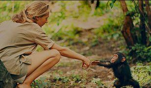 Jane Goodall prowadzi badania nad szympansami