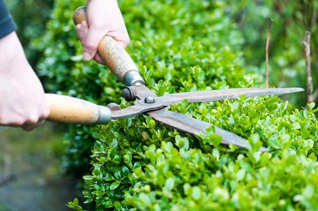 Wiosna w ogrodzie: jak ciąć żywopłot?