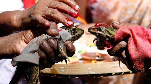 Żabom w Indiach udzielono rozwodu. Bo padało za dużo deszczu