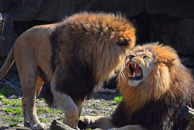 Australia: Lwy rzuciły się na pracowniczkę zoo. 35-latka walczy o życie