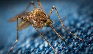 Komary. W tym roku jest ich znacznie mniej niż w poprzednich latach. Co się stało?