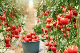 Pomidor malinowy - właściwości, wygląd, pomysły na przepisy
