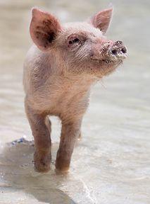 Świnie jako e-sportowcy. Wyniki badań zaskakują