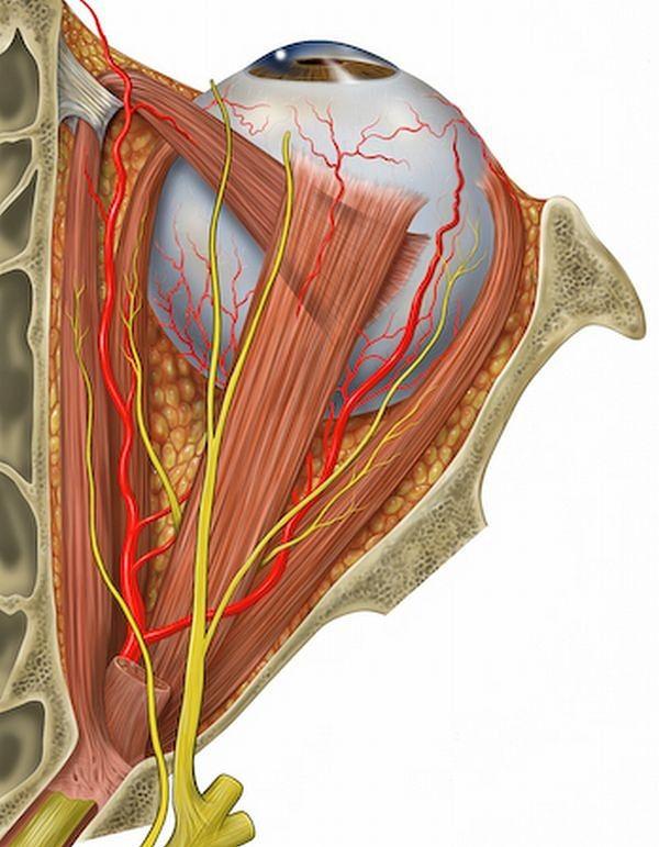 Atlas anatomiczny - schemat budowy oka