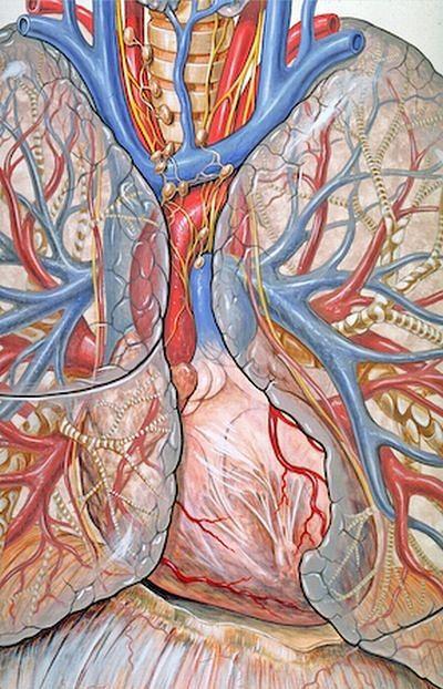 Atlas anatomiczny - anatomia serca i klatki piersiowej