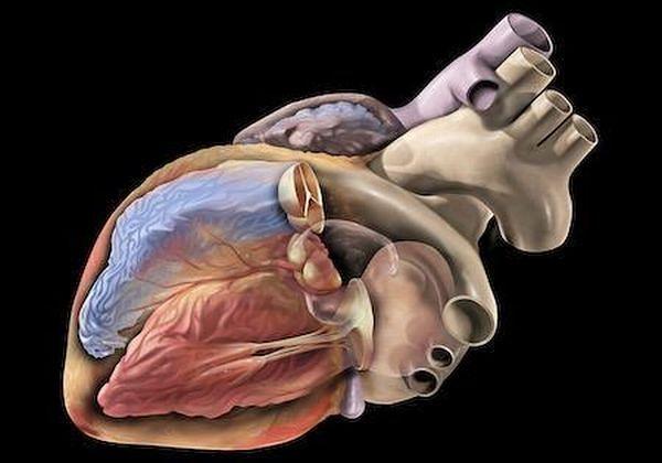 Atlas anatomiczny - schemat budowy serca