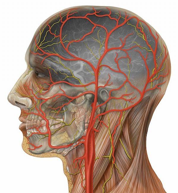 Atlas anatomiczny - anatomia głowy z tętnicami szyjnymi wewnętrznymi i zewnętrznymi