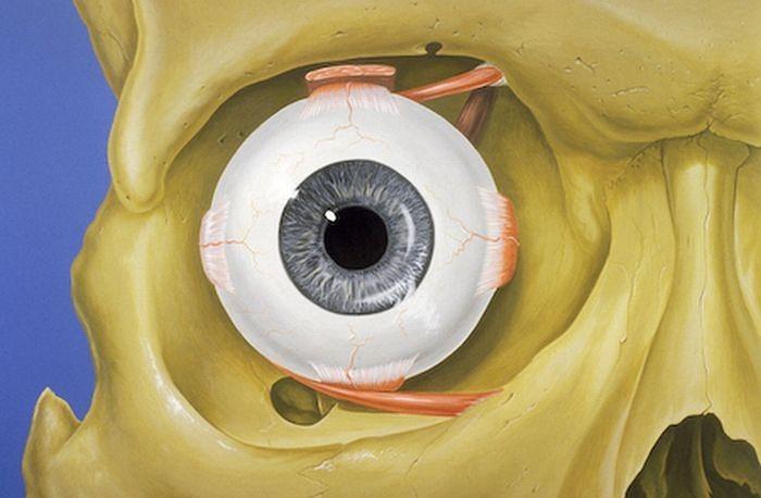 Atlas anatomiczny - przedni widok ludzkiego oka