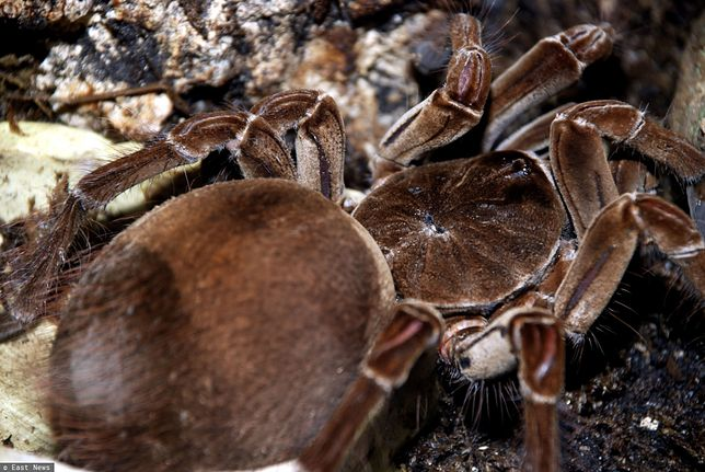 Ogromny pająk - ptasznik goliat