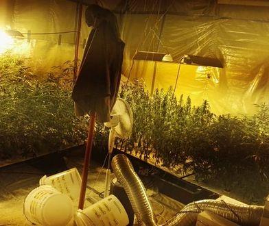 W garażu 33-latka z Jaworzna policjanci odkryli plantację konopi i susz marihuany