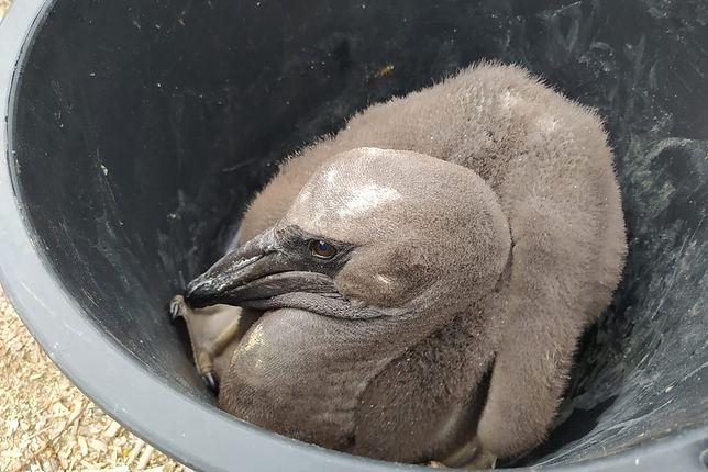 Nowi mieszkańcy poznańskiego zoo. Na świat przyszły pelikany