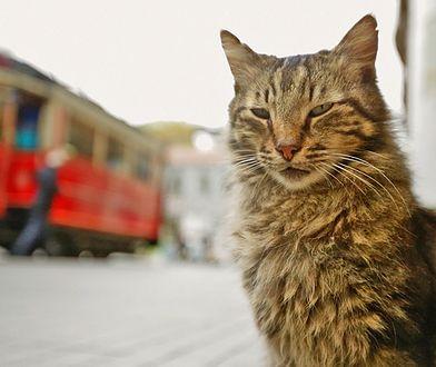 """Dokument o kotach, który pokochali polscy widzowie. """"KEDI""""już na DVD"""