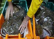 Niemcy mają apetyt na polskie ryby