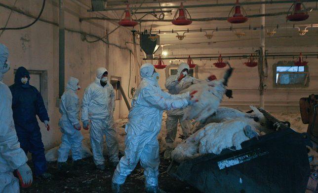 Ptasia grypa. Wykryto ognisko groźne dla ludzi