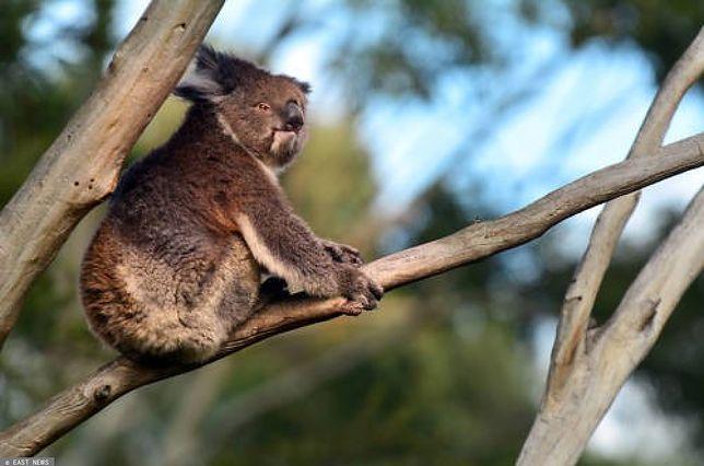 Zagrożone misie koala w Australii