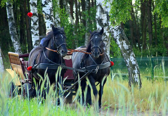 Zaprzęg konny. Takim wozem górale gonili spłoszonego konia przez zakopiankę