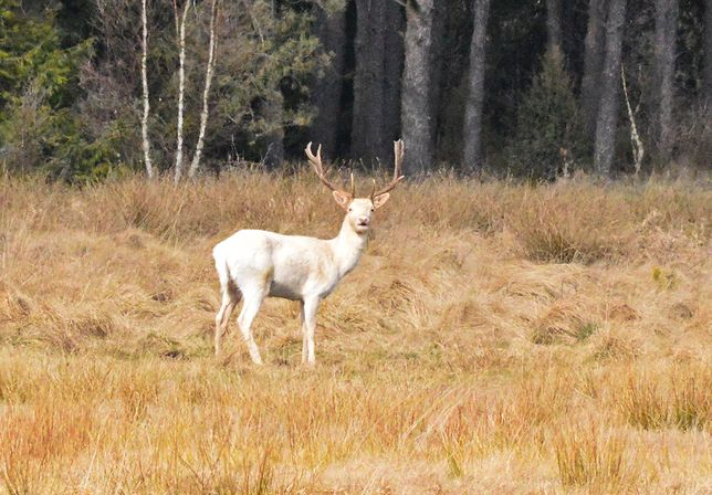 Niezwykłe zwierzę sfotografował leśnik z Nadleśnictwa Kościerzyna