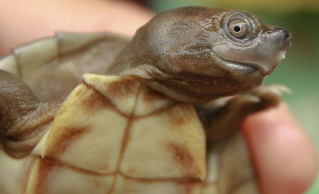 Żółw dachowy z Birmy. (Źródło: Wildlife Conservation Society, Autor: Myo Min Win)