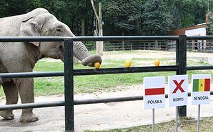 Słonica wytypowała wynik meczu Polska - Senegal