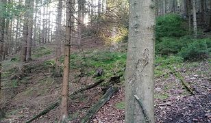 Stalowe linki rozwieszono w lasach wrocławskiego Nadleśnictwa Kamienna Góra
