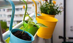 Jak przezimować kwiaty doniczkowe na balkonie?