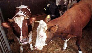 Mięso chorych krów mogło trafić do kebabów. Dziennikarze pokazali film z ubojni z ukrytej kamery
