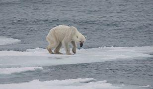 Globalne ocieplenie zagraża niedźwiedziom polarnym