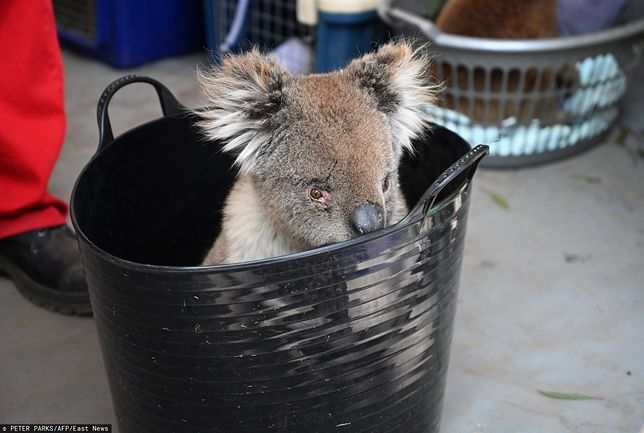 Australia: Koale straciły życie podczas wycinki eukaliptusów